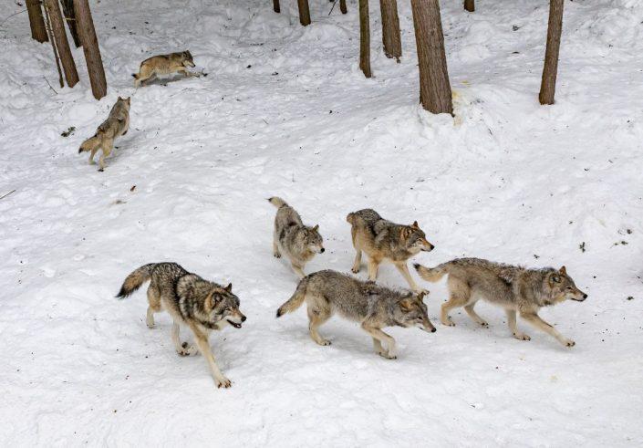 Le orme del lupo