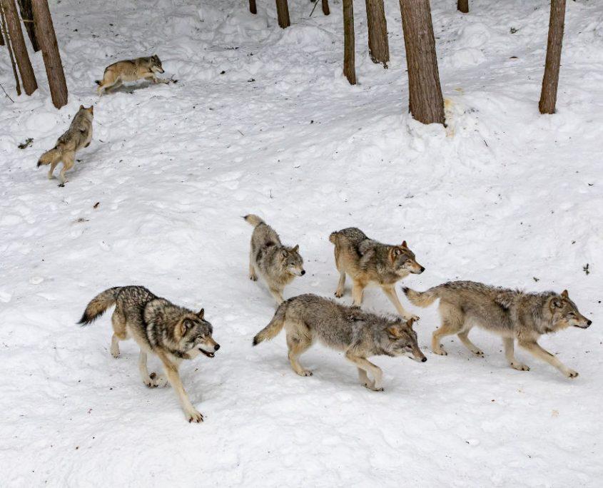 Sulle orme dei lupi